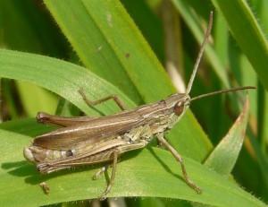 Albomarginatus