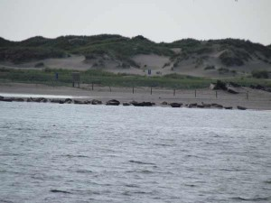 Robben auf Norderney